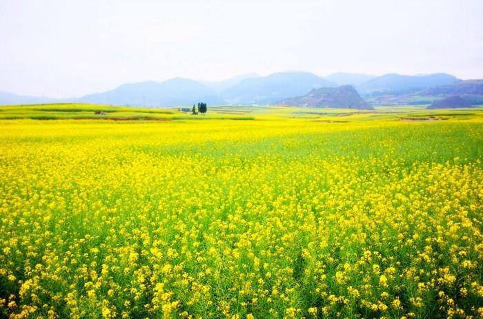 Hvad er sennep - Senneps mark i blomst